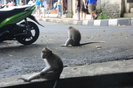 Monkeys in Street, Ubud, Bali