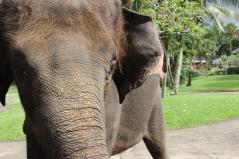 Elephant, Elephant Safari Park, Bali, Indonesia