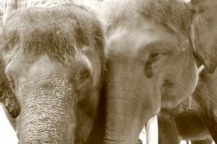 Elephants in Love, Elephant Safari Park, Bali, Indonesia