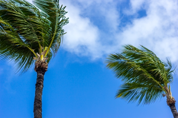 Palm Trees Sway in the Wind against a Tropical Sky