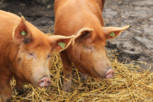 Two Pigs Standing in Hay